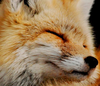 foxes Avatar