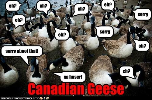 canada goose vs bald eagle meme