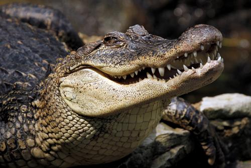 Great Interior Crocodile Alligator.