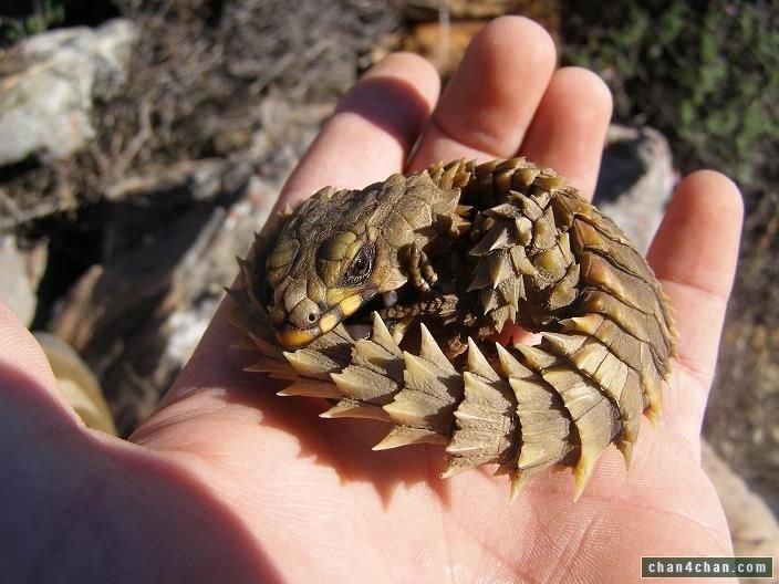 you forgot one the mini dragon spiny skinned armadillo lizard